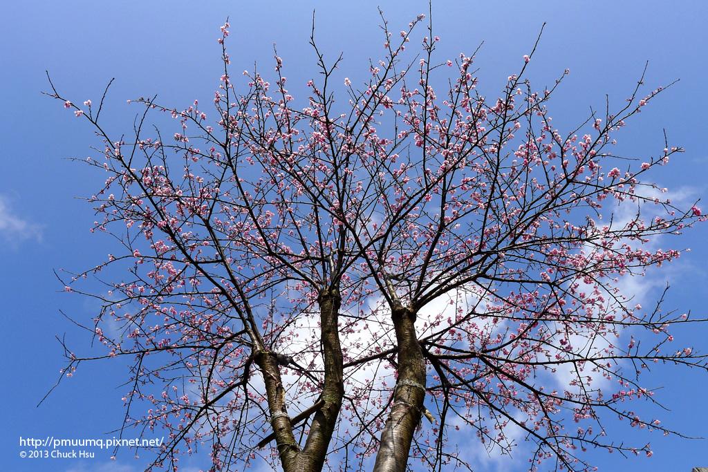 路上發現的一棵櫻花樹 再過幾天盛開一定會超美