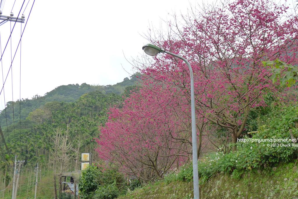 上山路上的櫻花林