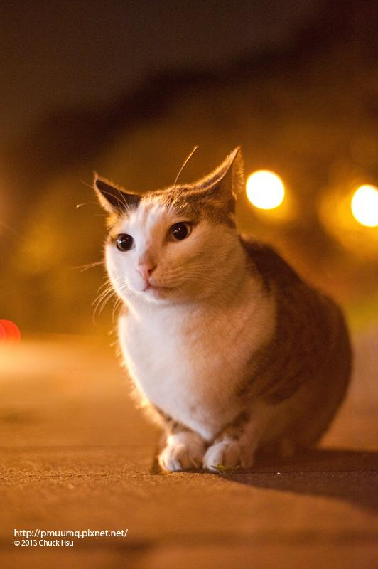 大白臉水噹噹~ 有貓友說之前他躲在樹林裡 還以為他是貓頭鷹