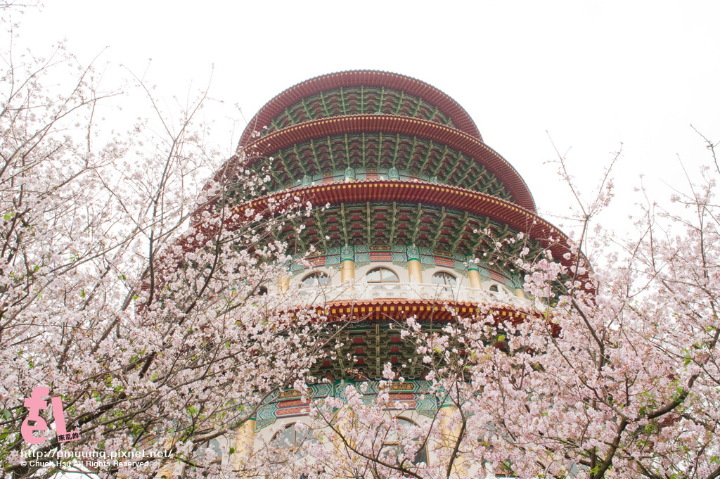 2013天元宮櫻花季_003