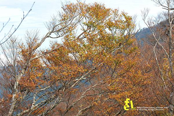20131110深秋的太平山台灣山毛櫸國家步道散步趣_041.jpg
