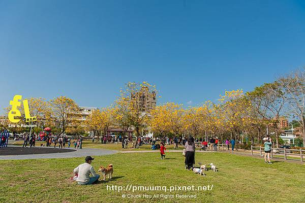 台中廍子公園-最美的黃花風鈴木公園_012