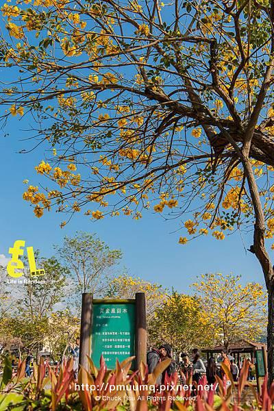 台中廍子公園-最美的黃花風鈴木公園_022