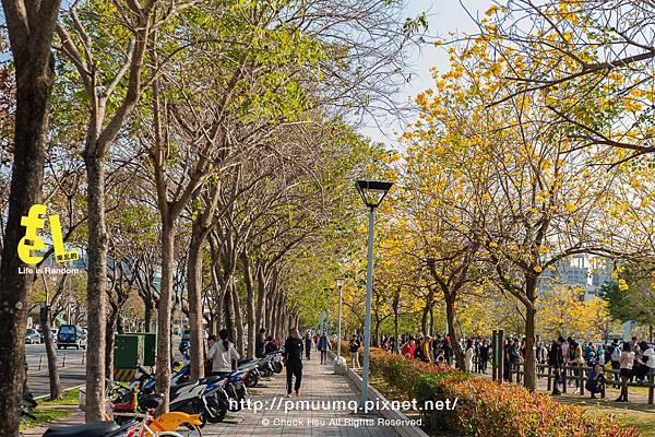 台中廍子公園-最美的黃花風鈴木公園_027