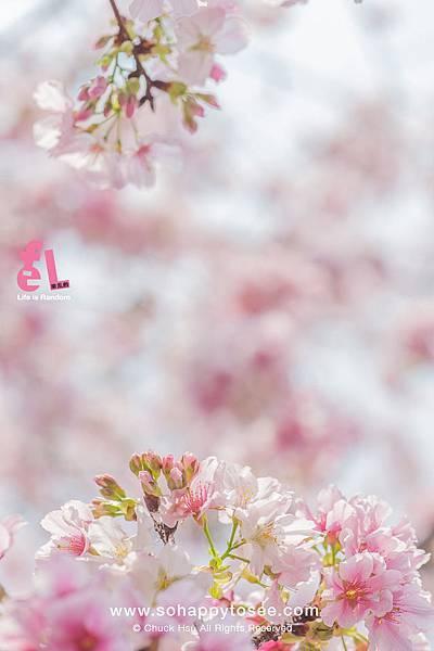 淡水天元宮櫻花滿開春爛漫2018-15