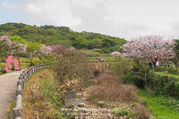 三芝三生櫻花步道彷彿來到靜岡伊豆河津櫻_05