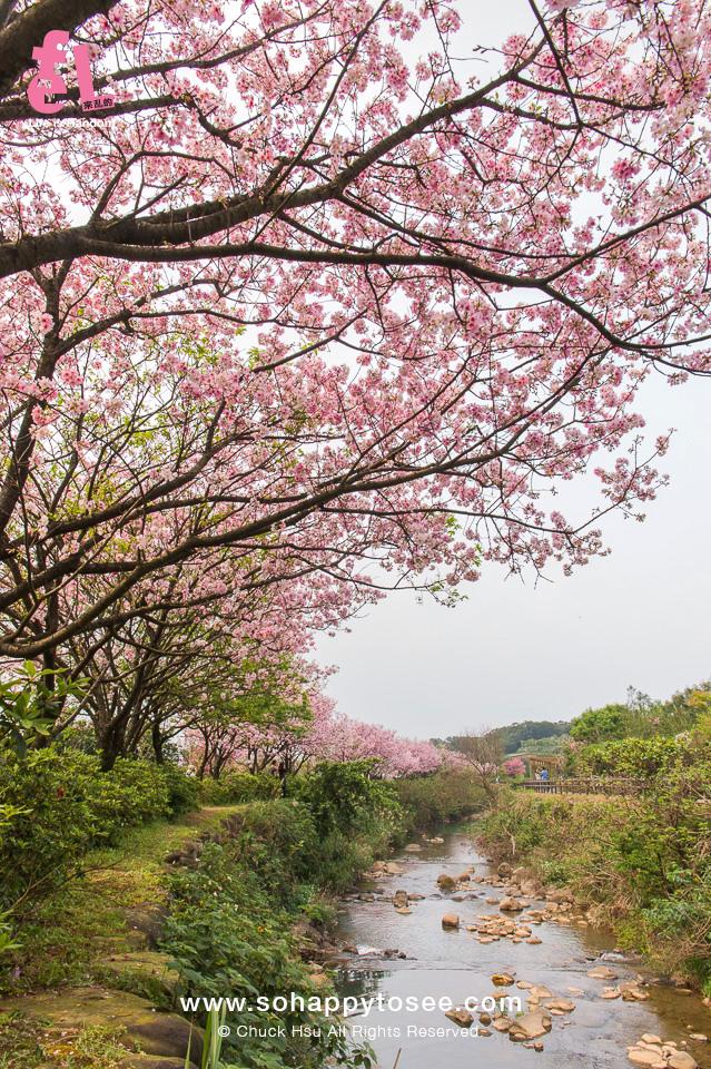 三芝三生櫻花步道彷彿來到靜岡伊豆河津櫻_15
