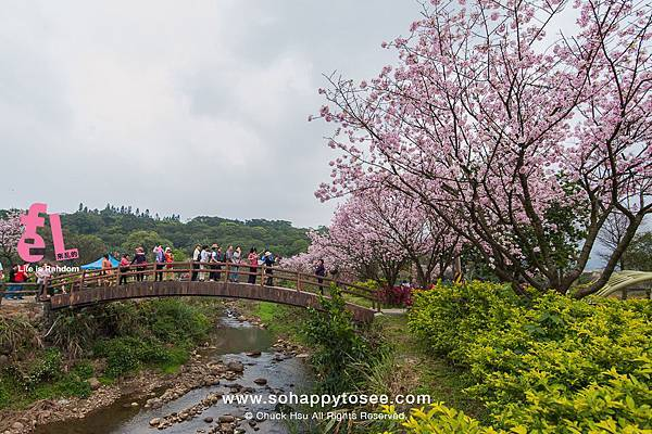 三芝三生櫻花步道彷彿來到靜岡伊豆河津櫻_25.jpg