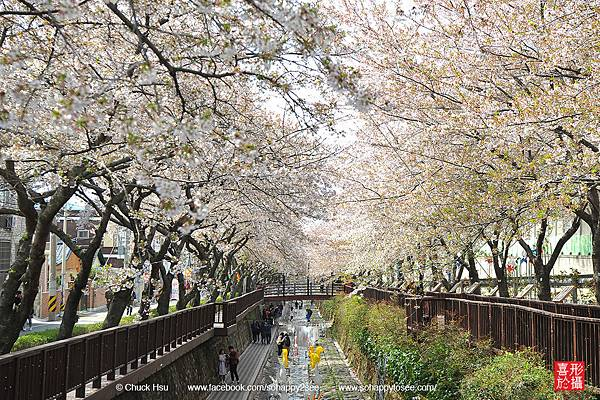 花漾釜慶鎮海賞櫻5日_020