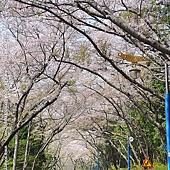 花漾釜慶鎮海賞櫻5日_025.jpg