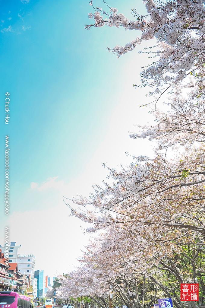 花漾釜慶鎮海賞櫻5日_036.jpg