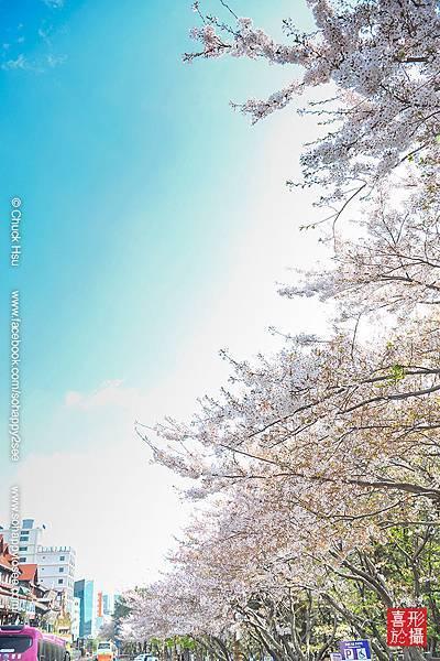 花漾釜慶鎮海賞櫻5日_036