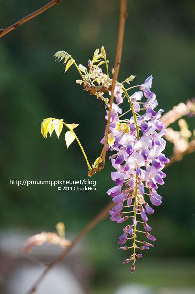 今天發現家旁邊的小小小公園涼亭的紫藤花開了(春暖紫藤花開).jpg