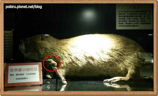 生物-大鼠王vs袖珍鼠.jpg