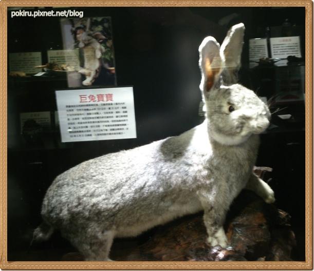 生物-巨兔.jpg