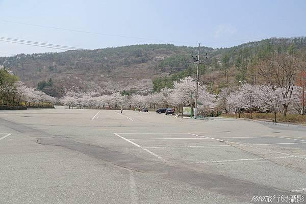 馬耳山櫻花2
