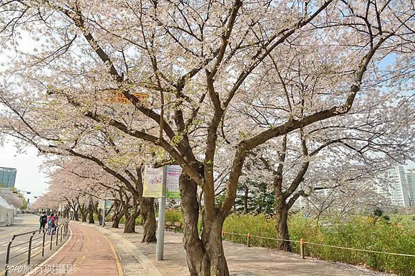 汝矣島櫻花3