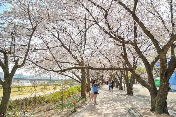 汝矣島櫻花2