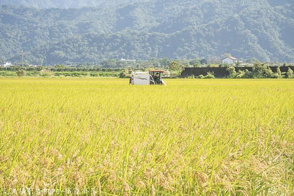 織羅部落採水菜稻田