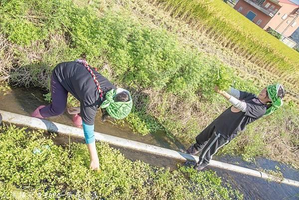 織羅部落採水菜0