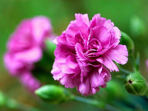 Carnation_flower_photo_90054QkGXsn_fs.jpg