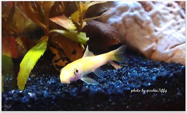 黃金老鼠魚越看越討喜