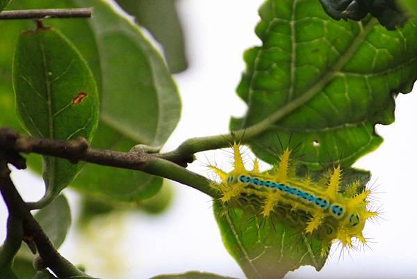 三角斑刺蛾(幼蟲)