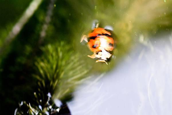 落水的瓢蟲