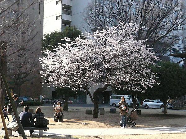 唯一的一棵櫻花樹