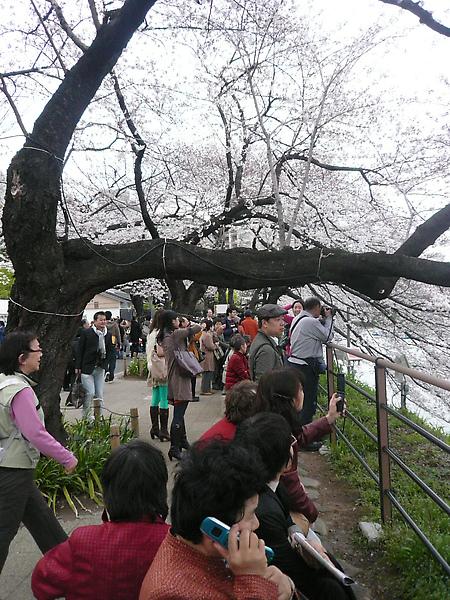 許多人都拿出大砲來拍櫻花