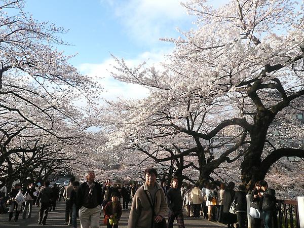 武道館門口也開滿了櫻花