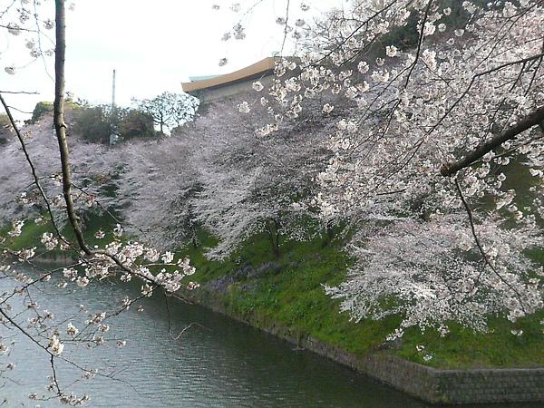 被櫻花圍繞的武道館, 感覺很棒