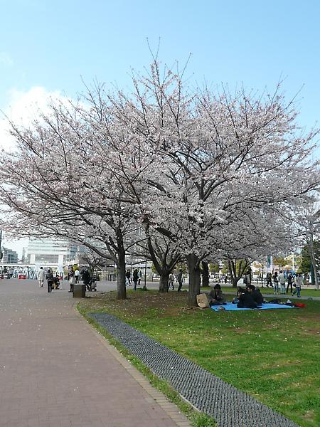 外面的櫻花都開了
