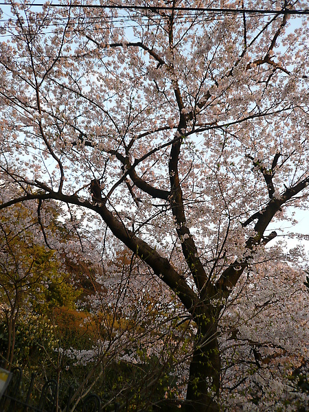 外國人墓地裡的櫻花, 開的很美