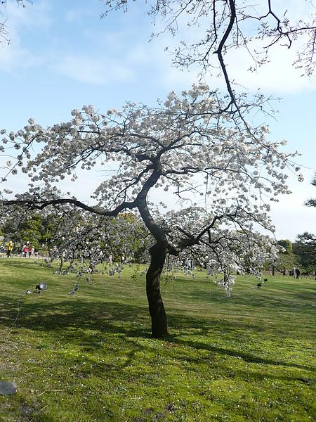 櫻花開得很美