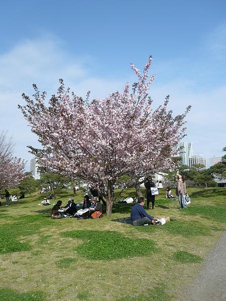 粉紅櫻花滿開