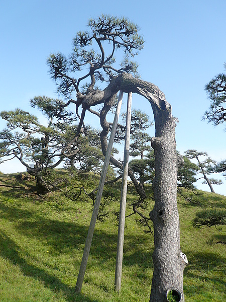 榕樹, 被奇怪的架子架起來