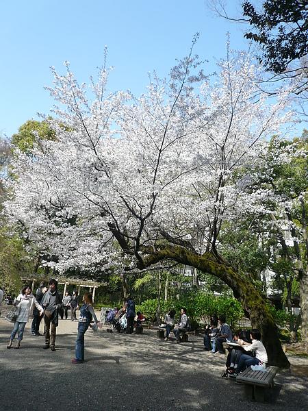 一進正門, 就有大櫻花樹迎接