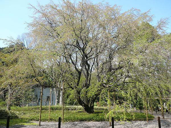 這是盛開過後最著名的櫻花樹...謝光光了