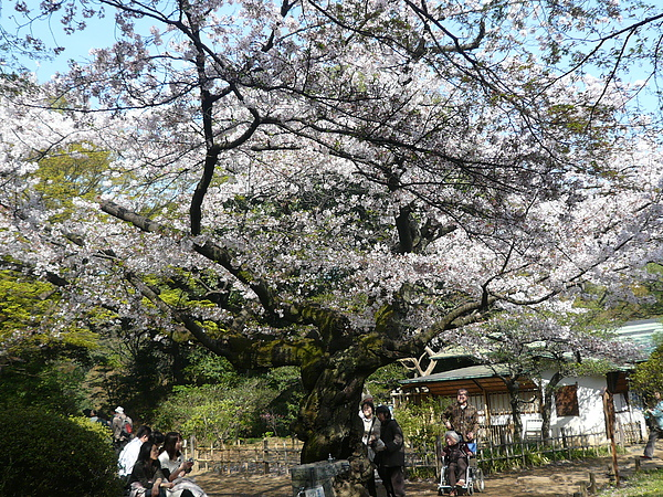 滿開的大櫻花樹