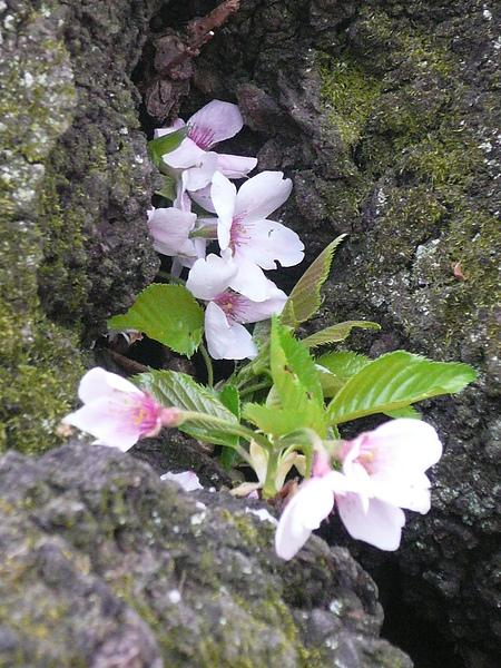 在櫻花樹上的小花..堅毅的生命力