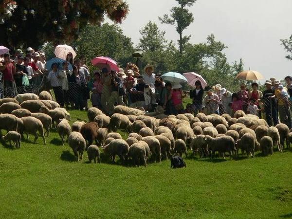 羊咩咩在山坡上~有一百多隻吧