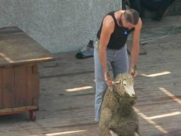 牧羊人要開始剔毛啦