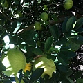 這裡好多柚子樹