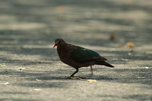 IMG_1368綠翼鳩