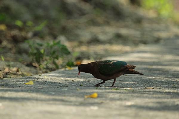 IMG_1365綠翼鳩