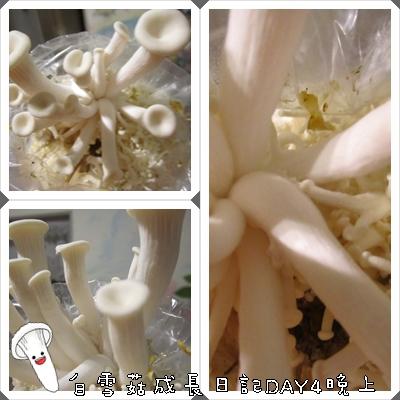 白雪菇成長日記4