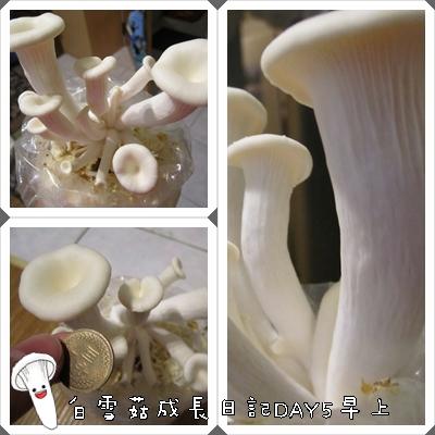 白雪菇成長日記5