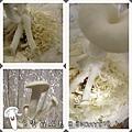 白雪菇成長日記6