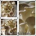 秀珍菇成長日記4